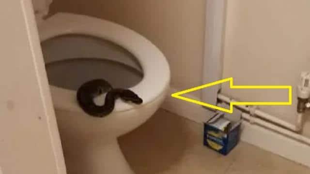 बाथरूम का दरवाजा खोलकर अंदर गई महिला, टॉयलेट सीट पर बैठा था अजगर